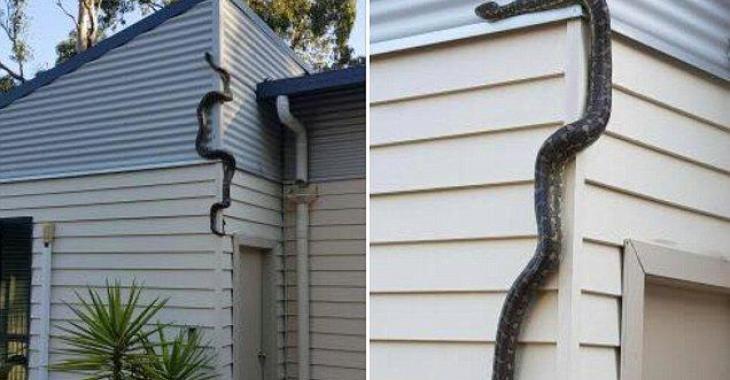 Un homme révèle la vidéo qu'il a filmée d'un énorme serpent qui tente d'entrer dans sa maison.